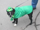 Jack helping Bug Country in his 2nd St. Patrick's Day Parade Utica, 3-17-12